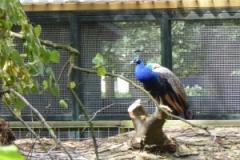 2015 aug Pauw heeft een uitkijkpost op de omgewaaide boom in de Hertenkamp