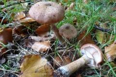 ©Titi. 17 oktober 2012. Echte honingzwam, Armillaria mellea